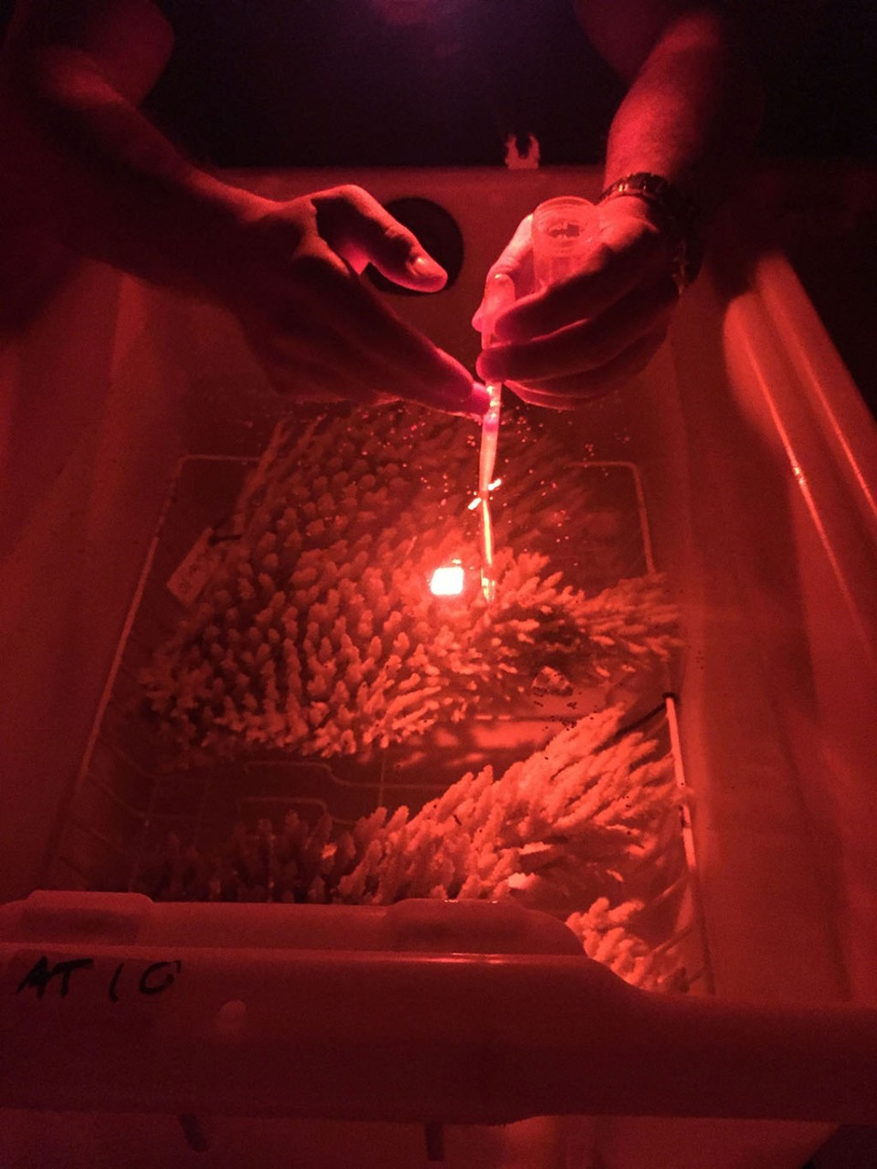 Photo of researchers collecting bundles of egg and sperm released as the coral colony spawns.